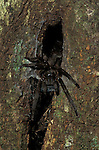 Tarantula, sp. unknown, Family: Theraphosidae, Aboreal by nest hole on tree, Sabah Borneo.Borneo....