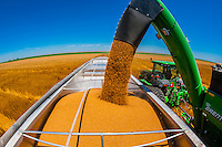 Grain being unloaded from a grain wagon to a grain trailer during the wheat harvest, Schields & Sons, Goodland, Kansas USA.