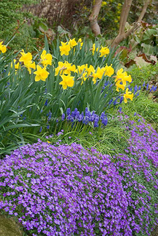 garden bulbs. Daffodil Narcissus With Grape Hyacinths Muscari And Rockcress In Spring Bloom Yellow Blue Purple Garden Bulbs