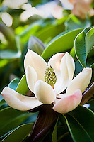 Flowering evergreen tree, white flower Magnolia chevalieri - Quarryhill Botanical Garden