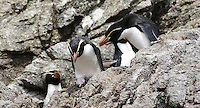 Snares Crested Penguins, the Snares Islands, Antarctica
