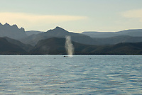 Fin whale (balaenoptera physalus) Gulf of California. A typical view of a fin whale and blow., Baja California, Mexico, Pacific Ocean