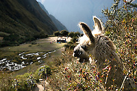 A curious llama looks down on a trekkers camp along the Inca Trail in Peru. The Inca Trail is part of the Machu Picchu Sanctuary, a protected area of 32,592 hectares, managed by the National Institute of Natural Resources.