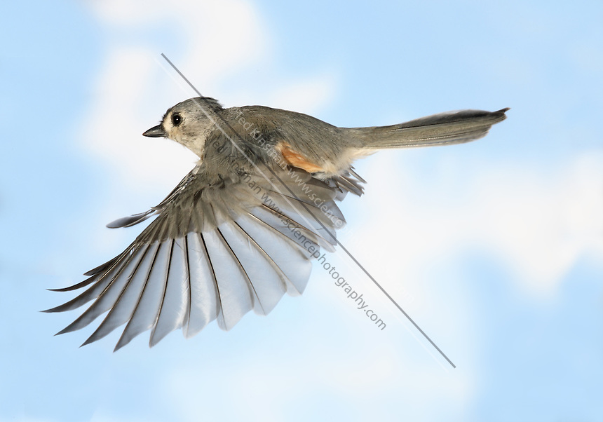 Tufted titmouse (Parus bicolor) in Flight.