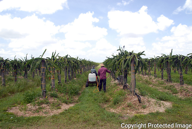 2 farm workers between rows of DragonFruit plants, the Pitahaya cactus, on a farm in Redlands, S. Dade Co.,Florida