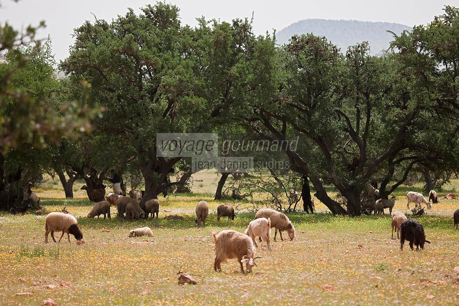 Afrique/Afrique du Nord/Maroc/Env d'Essaouira/Id Choukaïh: Arganeraie et troupeau de chèvres et moutons