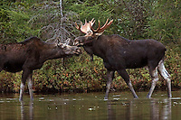 "#M20 ""Lovestruck"" Bull Moose Romancing Cow Moose"