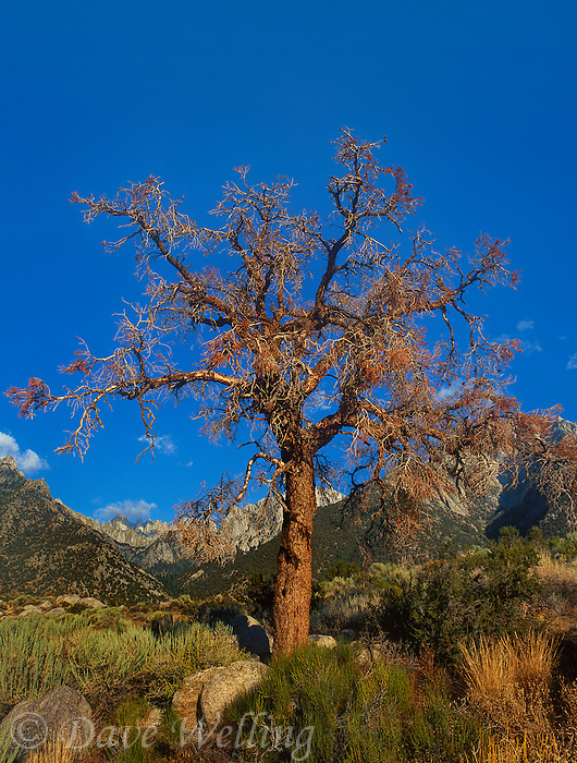 711700161 a gnarled tree frames mount whitney and the eastern sierras in this view from the alabama hills near lone pine california