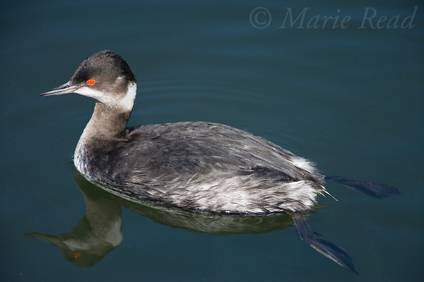 Eared Grebe (Podiceps nigricollis), winter plumage, Bolsa Chica Ecological Reserve, California. Showing legs set far back on body, adaptation for swimming.