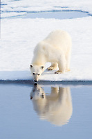 Polar bear, Ursus maritimus, at water's edge in summer, Spitsbergen, Svalbard, Norway, Arctic, polar bear, Ursus maritimus