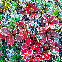 Morning frost on red bearberry, Denali National Park, Alaska