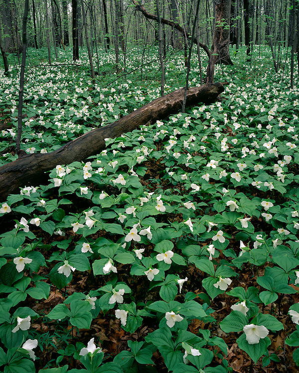 Field of Large-Flowered Trilliums (Trillium grandiflorum) in bloom; Messenger Woods Forest Preserve, IL