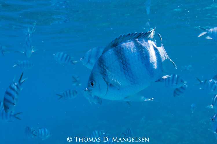 Scissortail sergeant fish swim in the clear blue waters off of Rangiroa, Tuamotus in French Polynesia.