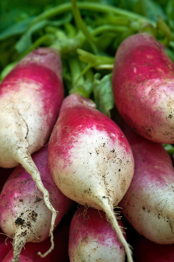 Fresh radish harvest.