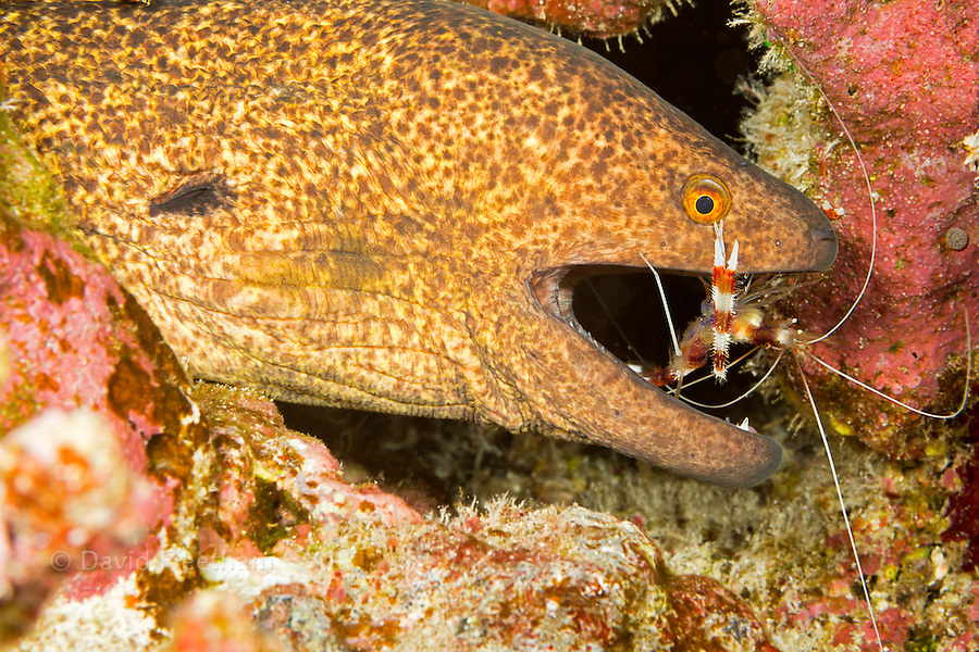 A yellowmargin moray eel, Gymnothorax flavimarginatus, with a banded coral shrimp, Stenopus hispidus, inspecting between the teeth for parasites, Hawaii.