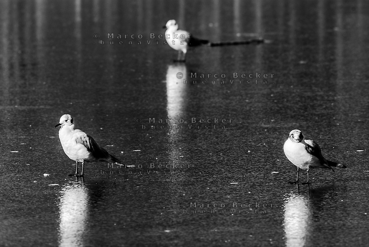 Milano, Parco Nord. Tre gabbiani sul lago ghiacciato --- Milan, Park North. Three seagulls on the frozen lake