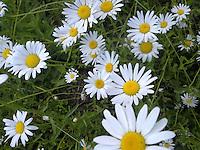 white daisy's
