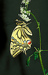Swallowtail (Papilio machaon) - butterfly on white flower, yellow and black colour, in UK only inhabits fenlands of Norfolk lifecycle.United Kingdom....