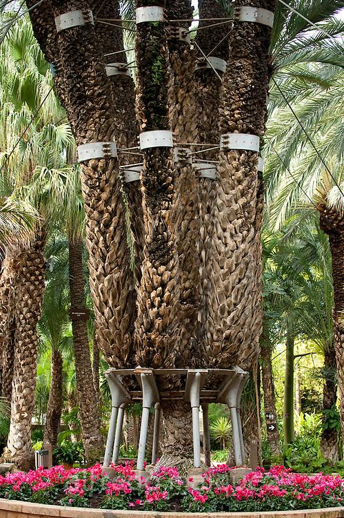 Imperial Palm, Huerto del Cura Gardens, Palmeral of Elche, Elx, Alicante, Costa Blanca, Spain