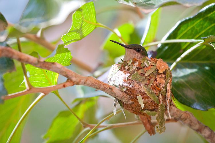 Beija-Flor no ninho cuidando dos seus ovos