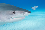 Tiger Beach, Grand Bahama Island, Bahamas; a profile, head shot of a large, female tiger shark with three small fish swimming out in front of its nose