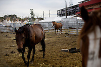 Horses stand in a corral behind the grandstand at the Pendleton Roundup in Pendleton, Oregon, USA.