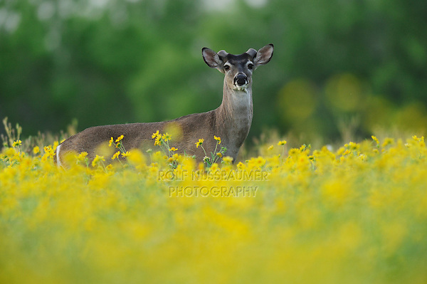 White-tailed Deer (Odocoileus virginianus), buck in Cowpen Daisy, Golden Crownbeard (Verbesina encelioides), Laredo, Webb County, South Texas, USA