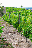 Domaine la Tour Vieille. Collioure. Roussillon. Vine leaves. Terroir soil. The vineyard. France. Europe. Vineyard. Soil with stones rocks. Schist slate soil.