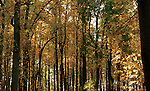 Yellow autumn leaves in forest Skyline Drive Commonwealth of Virginia, Fine Art Photography by Ron Bennett, Fine Art, Fine Art photography, Art Photography, Copyright RonBennettPhotography.com ©