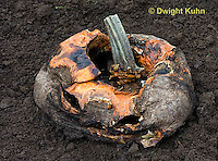 DC10-518z  Jack-o-Lantern decomposing in garden, Fungus growth on fruit.
