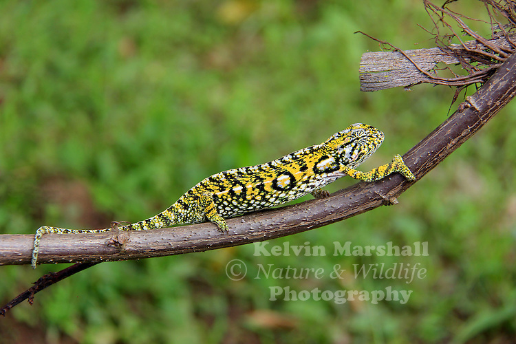 Furcifer lateralis, also known as the Carpet Chameleon or the White-lined Chameleon, is a species of chameleon that is endemic to Madagascar. It was described in 1831 by Gray. Pereyras Nature Farm (Marozevo) - Eastern Madagascar.