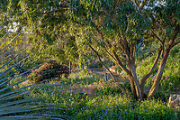 Agonis flexuosa (Peppermint Tree) on right at San Diego Botanic Garden