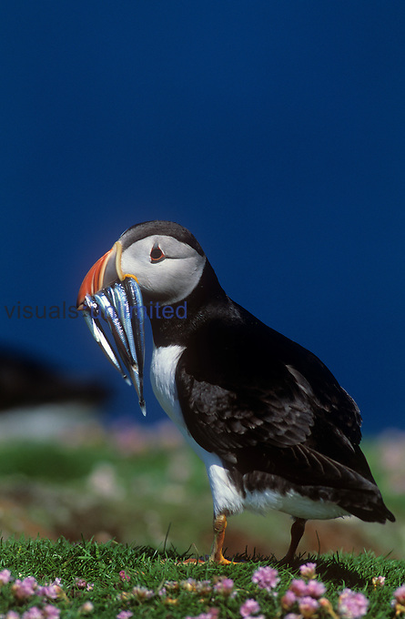 Atlantic Puffin (Fratercula arctica) with fish prey in its bill.
