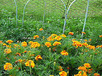 Pretty Marigold flowers near garden fence