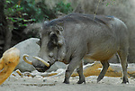 wart hog at the Living Desert
