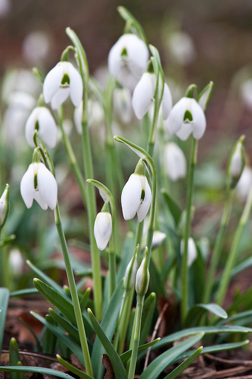 Common snowdrop (Galanthus nivalis f. pleniflorus 'Flore Pleno'), early February.