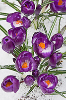 Vashon, WA<br /> Spring snow on purple blossoms of Dutch crocus (Crocus vernus ssp.)