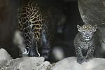 Foto: VidiPhoto<br /> <br /> ARNHEM &ndash; Bezoekers en pers moesten enkele uren geduld hebben woensdag voordat de twee panterwelpen van Burgers Zoo hun verblijf uit durfden te komen om zichzelf te presenteren aan het publiek. En dat nog wel op internationale kattendag. Zowel moeder als de beide in mei geboren kittens, bleven de rest van de dag voorzichtig. Veel binnen en even kort naar buiten, dicht bij de ingang. De twee Shri Lanka panterwelpen van de Arnhemse dierentuin zijn genetisch enorm belangrijk voor het Europese fokprogramma. Naar schatting leven er nog minder dan duizend Sri Lanka panters op het gelijknamige eiland. In de Europese dierentuinen leven in totaal 58 Sri Lanka panters. Met het oog op de toekomst van de Europese dierentuinpopulatie is het belangrijk dat de genetische variatie zo groot mogelijk is. De moeder van de twee Arnhemse jongen is de enige vertegenwoordiger van haar bloedlijn in de populatie en ook de vader heeft eerder nog maar drie andere jongen verwekt.