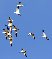 Flying flock of white lesser snow geese and Ross's geese