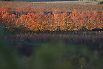 Colorful autumn trees in a vineyard of Napa Valley, California.