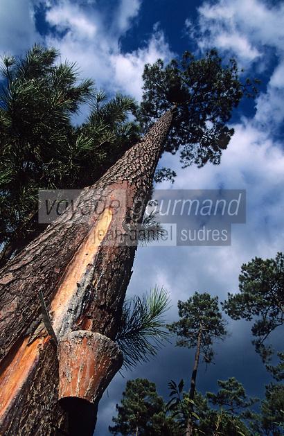 Europe/France/Aquitaine/40/Landes/Parc Naturel Régional des Landes de Gascogne/Marquèze (écomusée de la Grande Lande) /Sabres: Forêt résinière - Gemmage des pins - Pin maritime