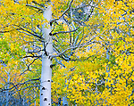 Aspen close-up at peak color. Inyo National Forest. Inyo County, CA.