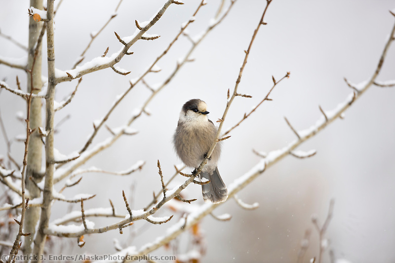 Gray jay or Camp robber perched on a branch in falling snow, Arctic, Alaska.