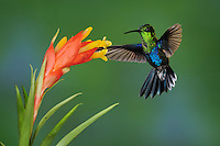 Green-Crowned Woodnymph (Thalurania fannyi), male feeding on bromeliad flower,Mindo, Ecuador, Andes, South America