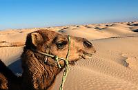 Kamel in den Dünen bei Douz, Tunesien
