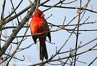 """0106-1001  Northern Cardinal """"Male"""" in Winter, Cardinalis cardinalis  © David Kuhn/Dwight Kuhn Photography"""