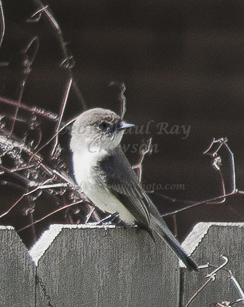 Gray-headed Gnatcatcher