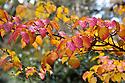 Autumn foliage of Cornus x rutgersiensis 'Ruth Ellen', early November.