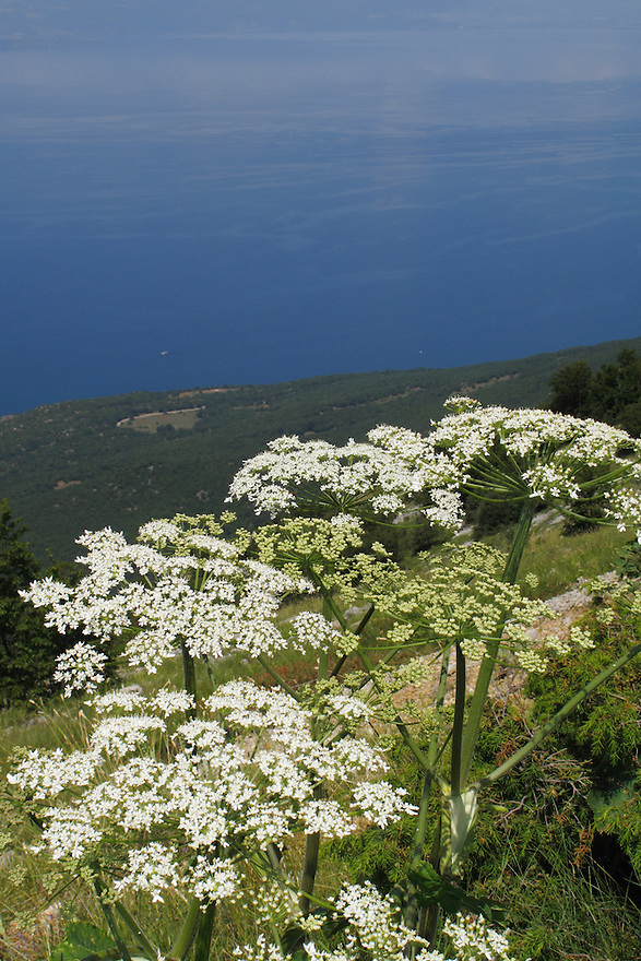Hogweed, heracleum sphondylium, flower  frames a view west across Lake Ohrid (693m) from Baba view point (1604m), Galicica National Park, towards Mokra Pl mountain range in Albania.<br /> Galicica National Park, Macedonia, June 2009<br /> Mission: Macedonia, Lake Macro Prespa /  Lake Ohrid, Transnational Park<br /> David Maitland / Wild Wonders of Europe