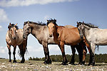 Western horses - wild mustangs of  the Pryors